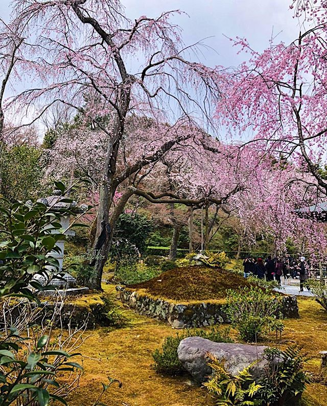 Can't get enough of the gardens in Japan during Cherry Blossom season.