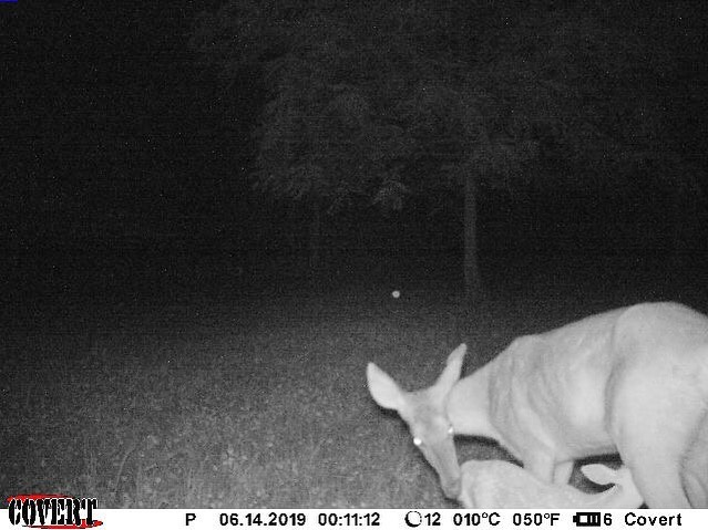 "As a group who practices #qdma, this makes us as happy as taking a 150"" buck in the fall.  #struttinbuck #iamsportsman #hunterslife #fawn #coverttrailcameras"