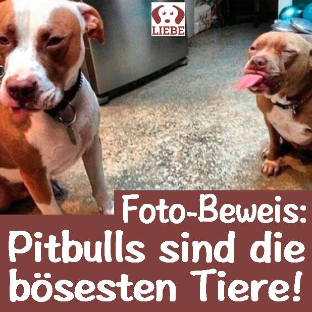 -Meme-hund-pitbulls-boese.jpg