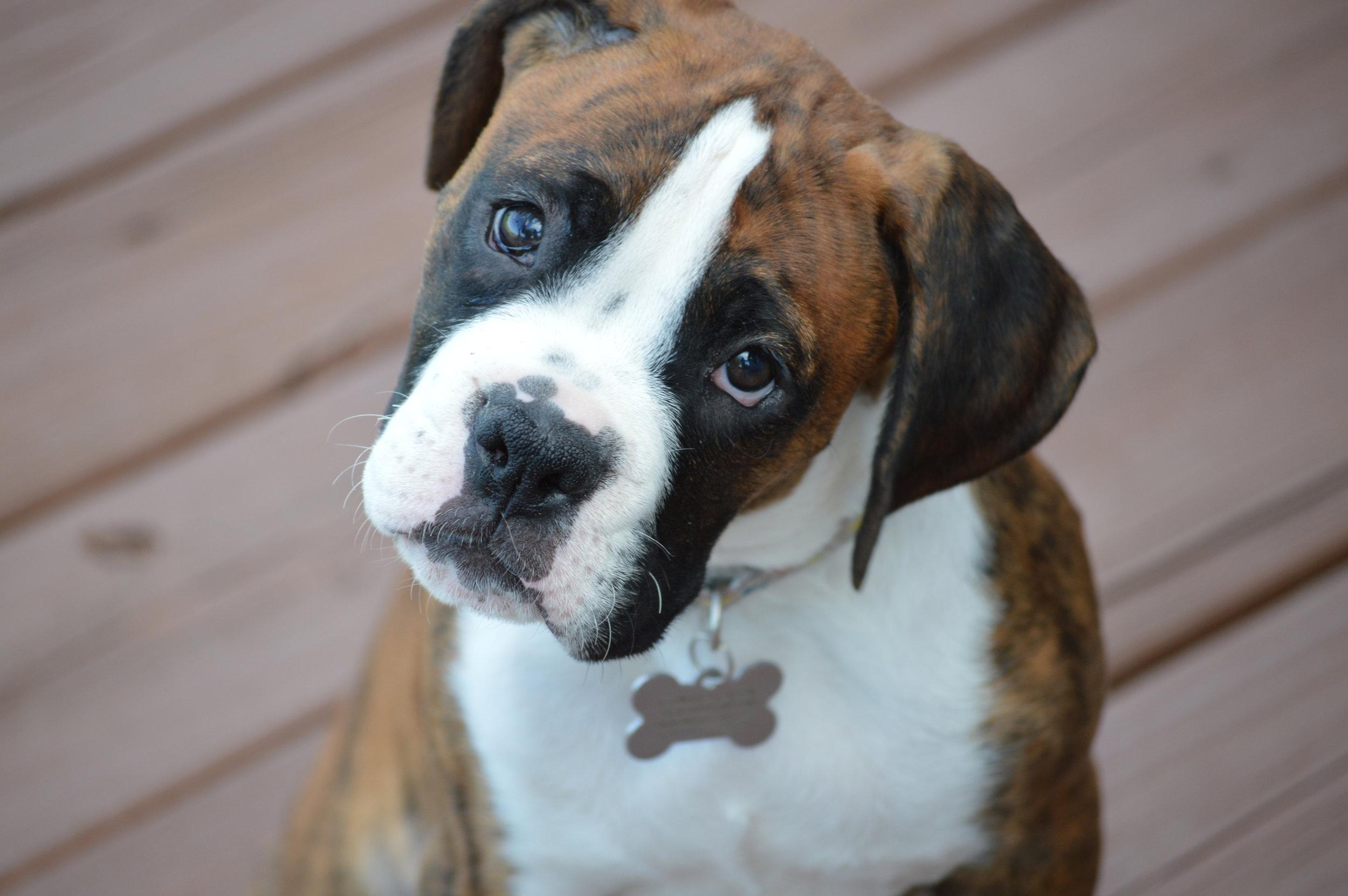 © iStock: Wenn man als Hundebesitzer die  Körpersprache  seines Vierbeiners falsch interpretiert, kann die Situation schnell gefährlich werden. Aber was bedeuten die Signale wirklich?