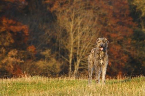 Die größten Hunde der Welt: der Irische Wolfshund. © iStock