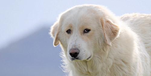 Die größten Hunde der Welt: der Pyrenäen-Berghund. ©  Denis789/Flickr / CC BY 2.0