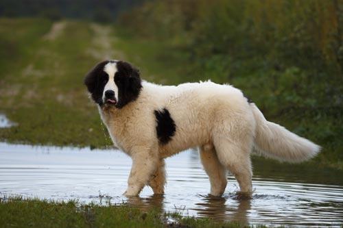 Die größten Hunde der Welt: der Landseer. © iStock