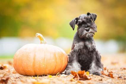 Hund trotz Allergie: der Schnauzer. © fotolia - Rita Kochmarjova