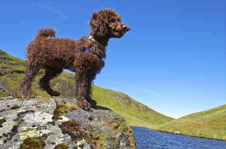 Hund trotz Allergie: der Pudel. © istock