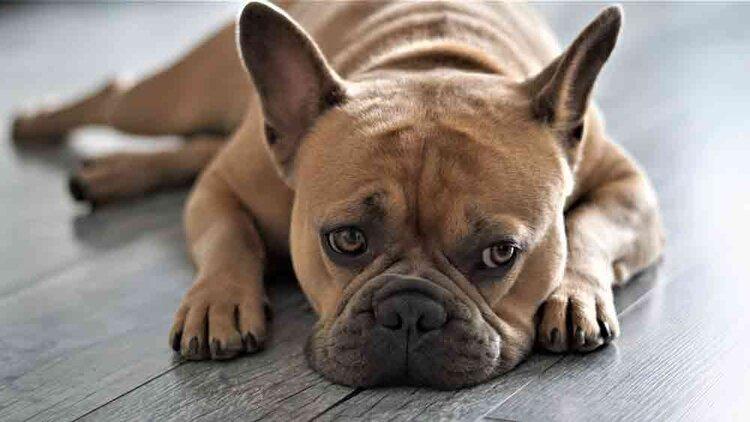 Die Französische Bulldogge ist auch einer der Hunde, die wenig haaren. Doch auch andere Hunderassen halten sich mit dem Fellwechsel zurück. (© Pixabay/Mylene2401)