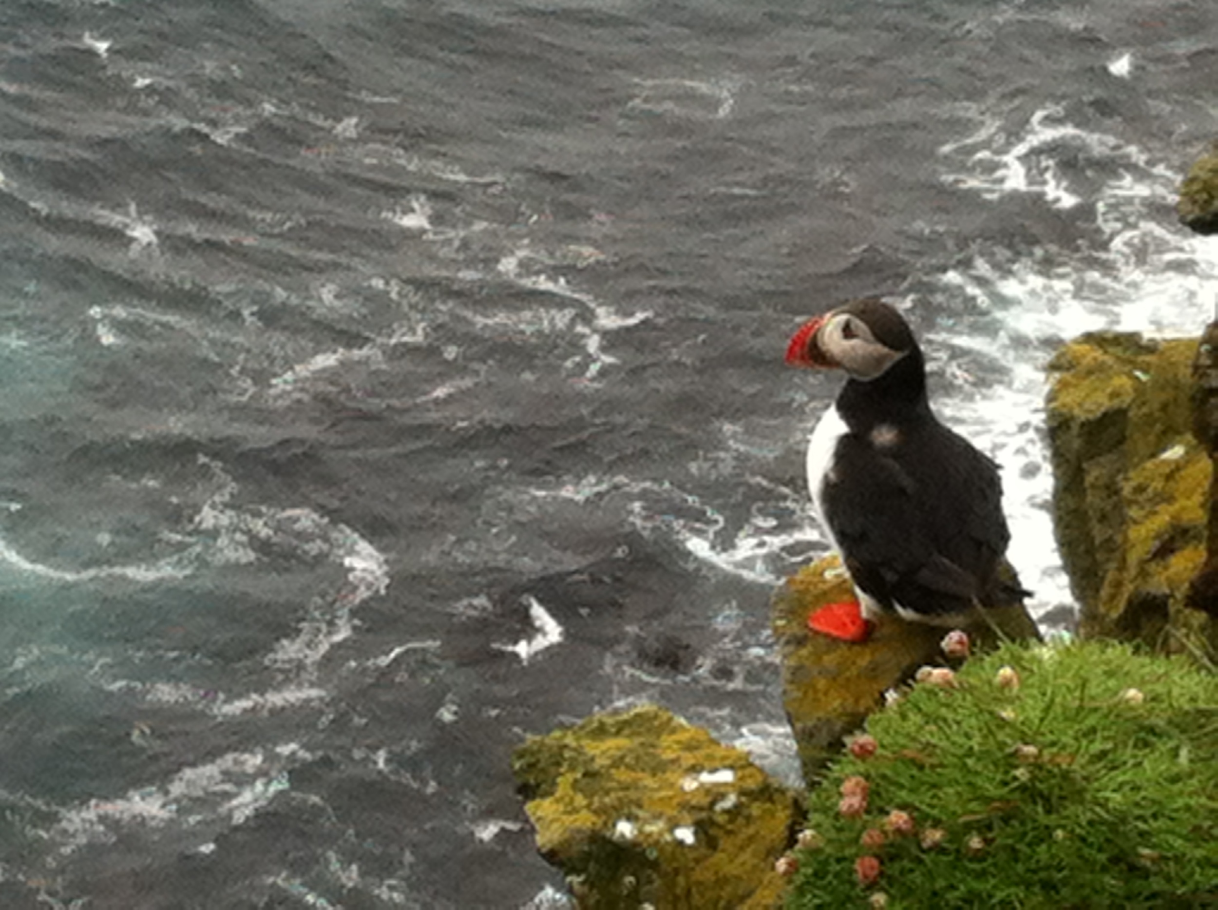 Puffins on the cliffs of Latrabjarg, the most Westerly point in all of Europe!