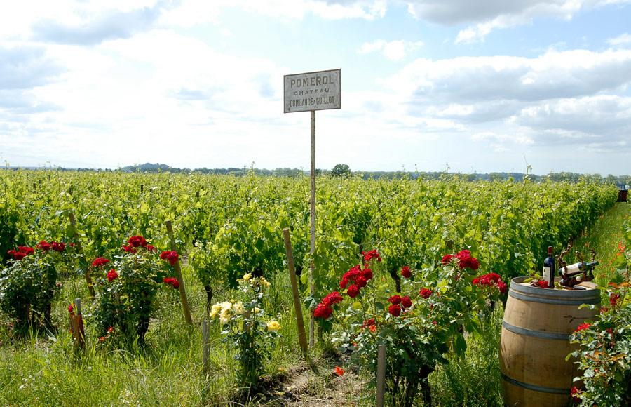 Roses planted at the edge of each vineyard row at Chateau Gombaude-Guillot.
