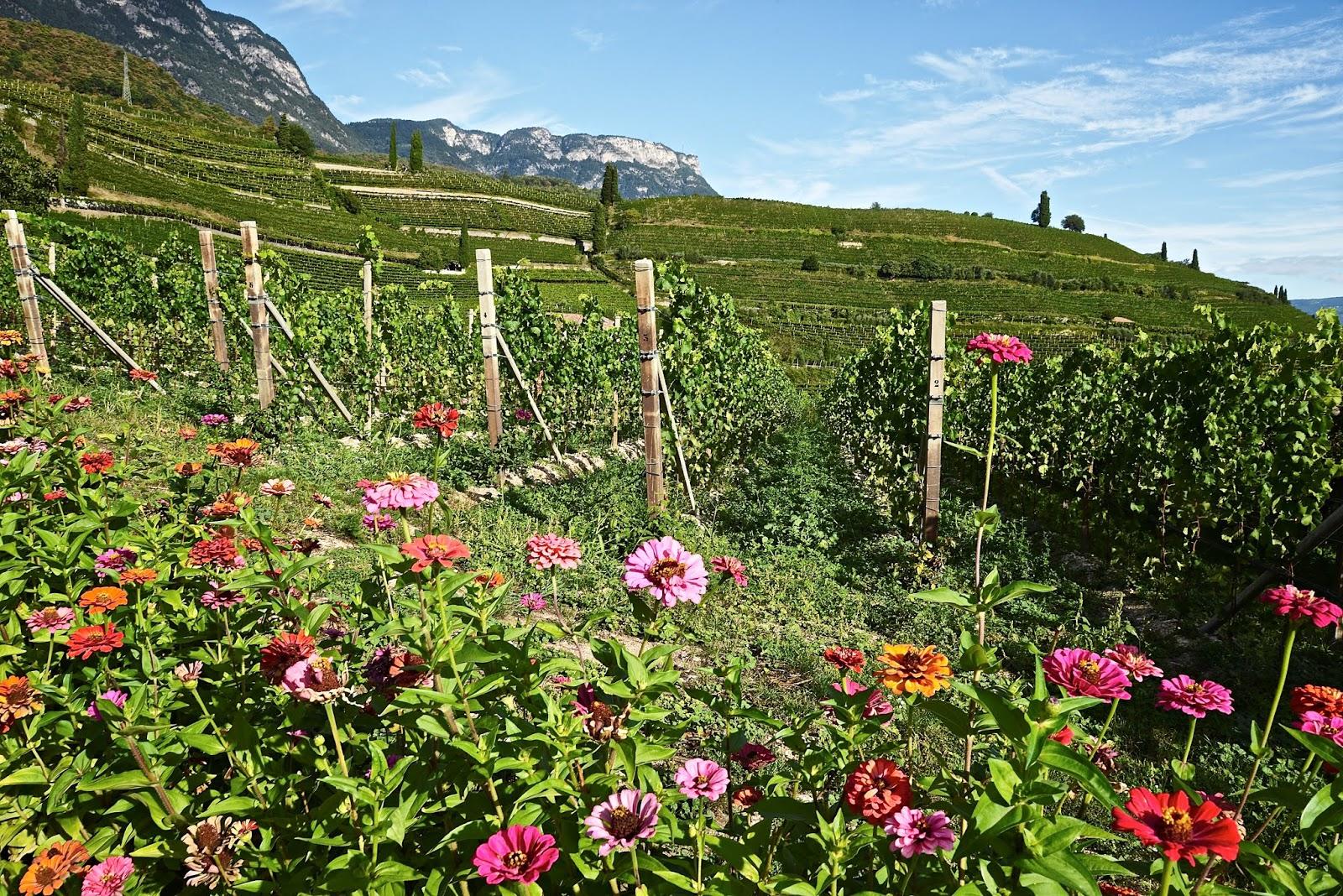 Alois Lageder's colorful vineyards, courtesy of Italian Wine Blog   Vino Travels.