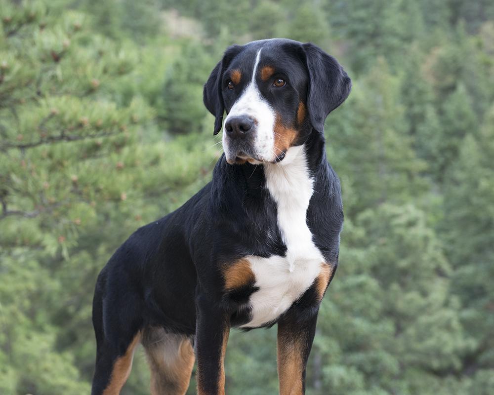 Randi Pine Grove Greater Swiss Mountain Dogs