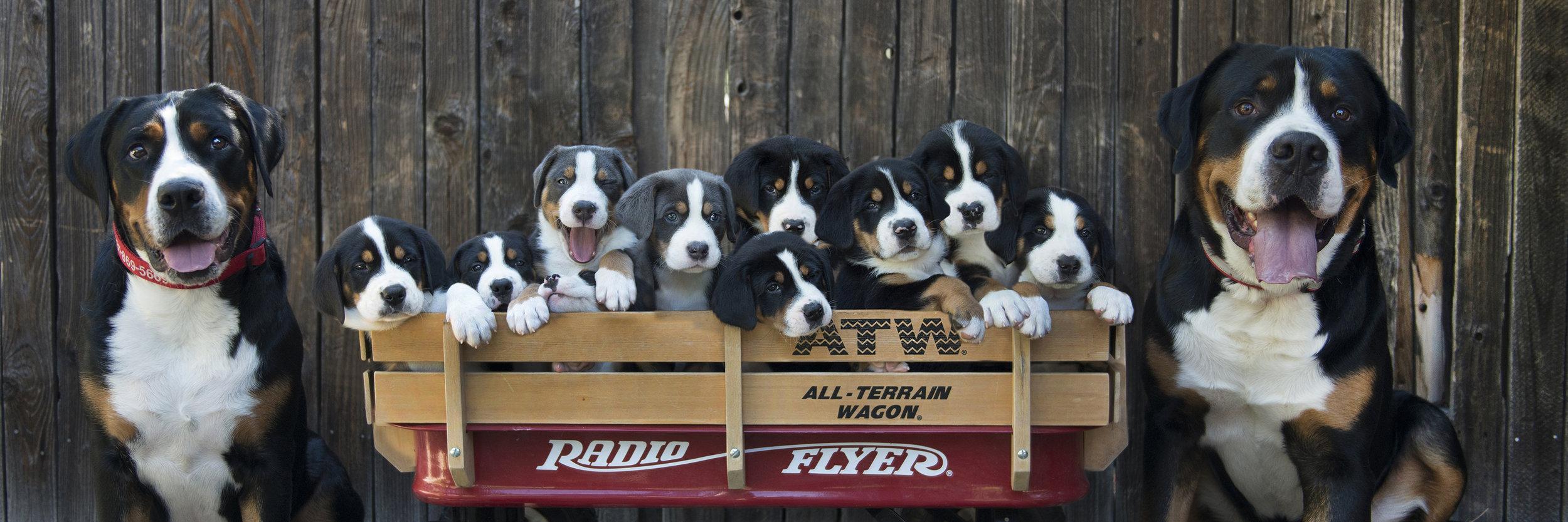 Pine Grove Greater Swiss Mountain Dogs