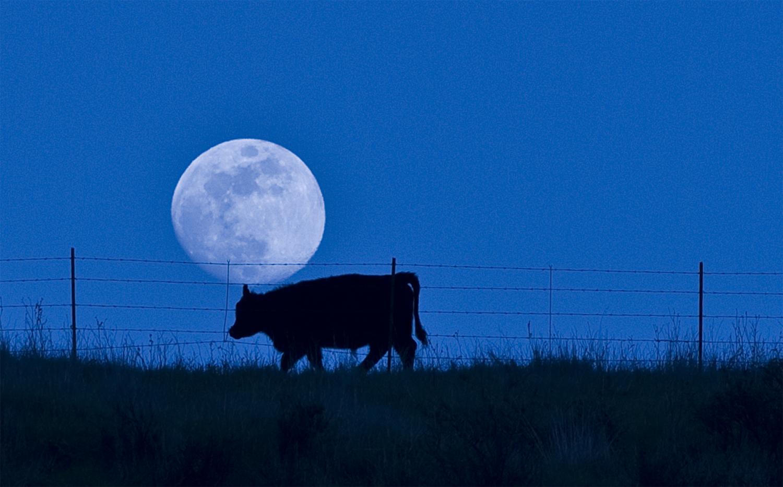 Cow_moon.jpg
