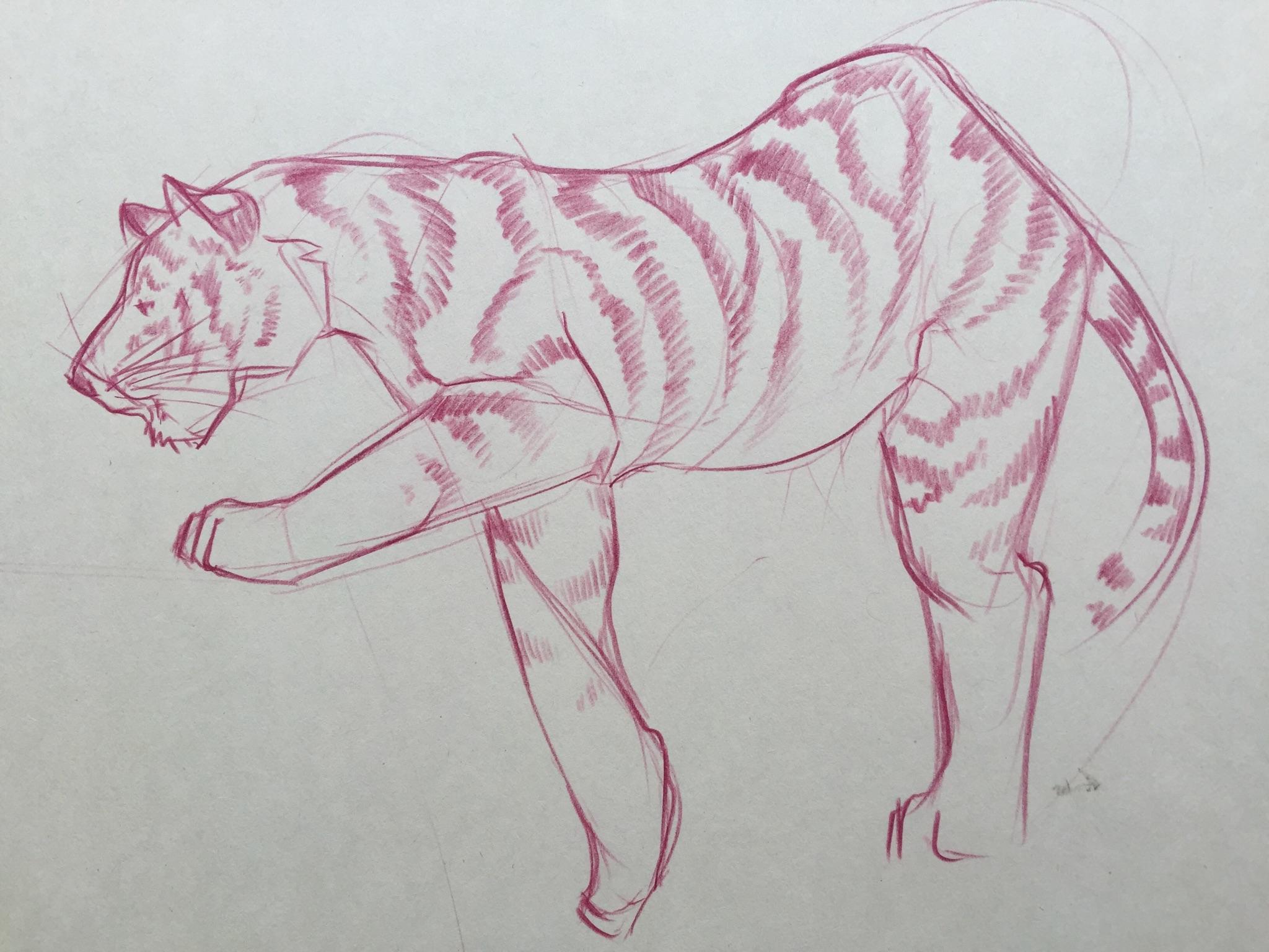 tiger pencil zoo study.jpg
