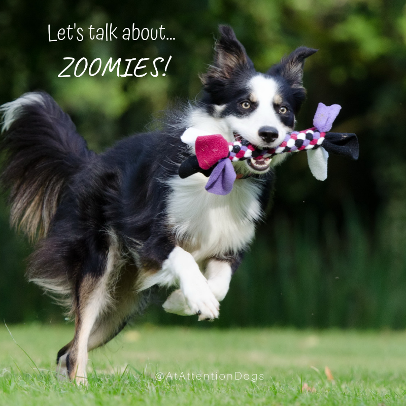 """Does your dog get the """"Zoomies"""" ? Learn more about F.R.A.P.S."""