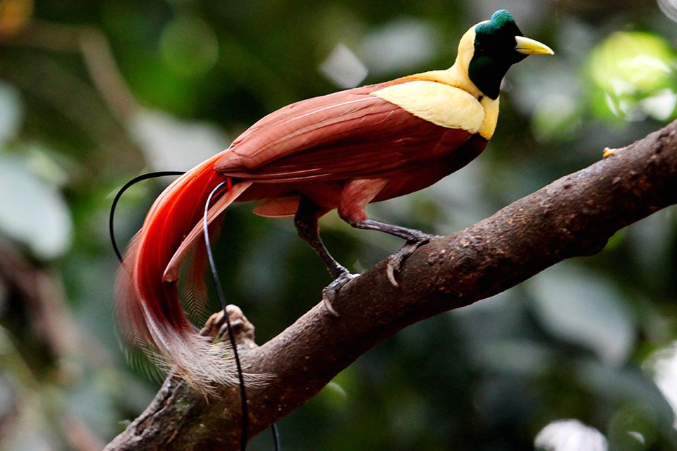wilsons-bird-of-paradise-raja-ampat.jpg