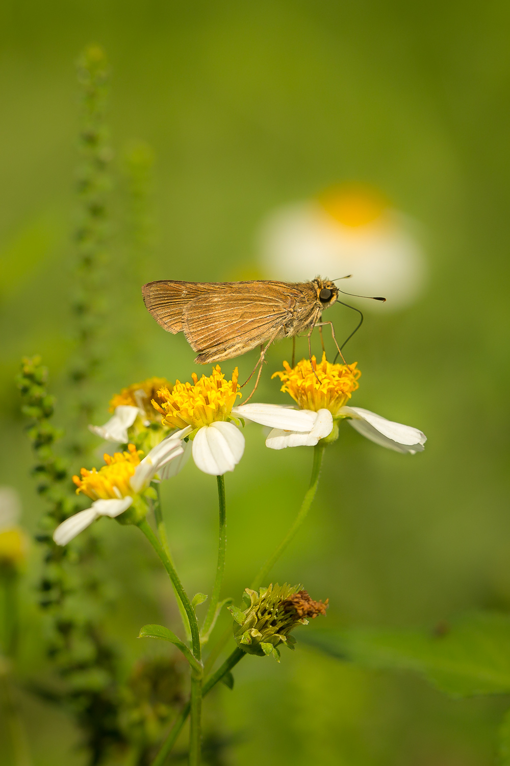 Skipper on Spanish Needles