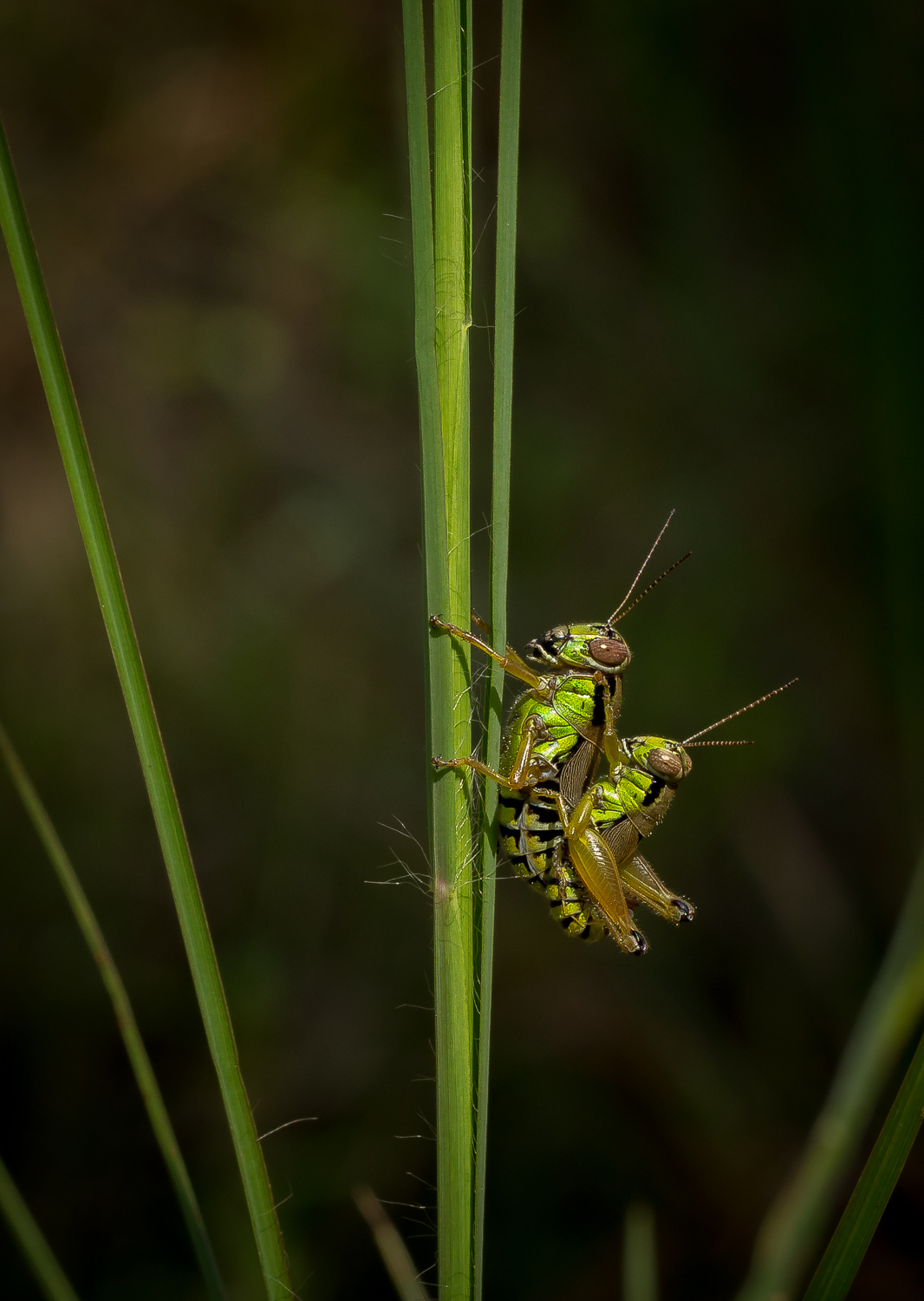 Grasshoppers (Mating)