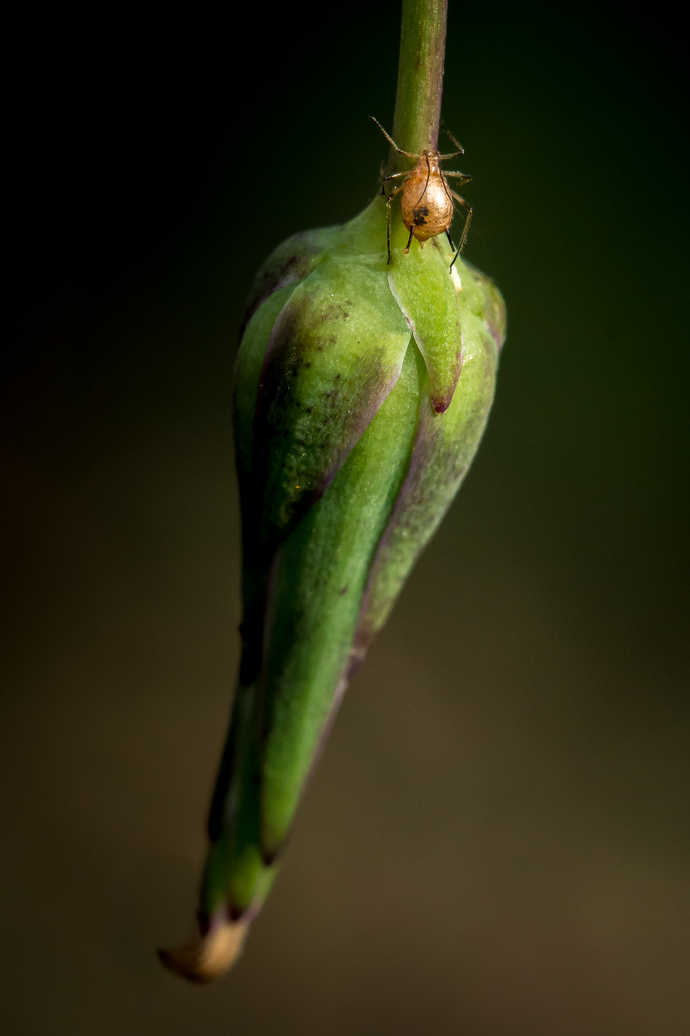 Aphid on Wildflower Bud