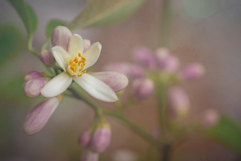 Lemon Blossom I