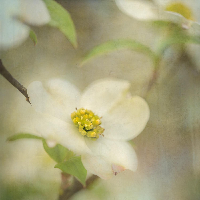 Dogwood Blossom I