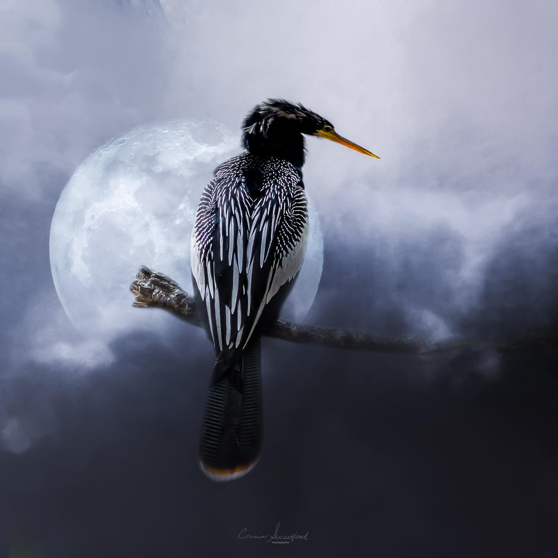 Anhinga Moon