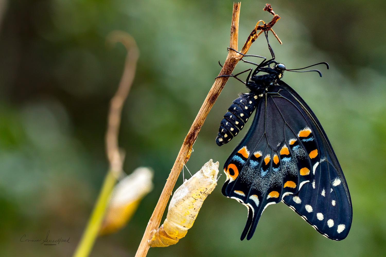 Black Swallowtail w/chrysalis