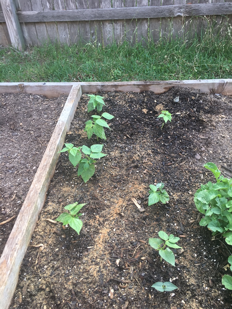 Yellow snap beans and arugula