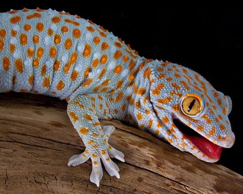 tokay-gecko_2.jpg