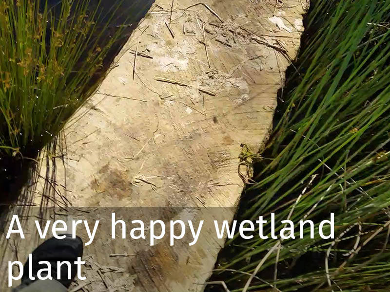 20150102 0101 A very happy wetland plant.jpg