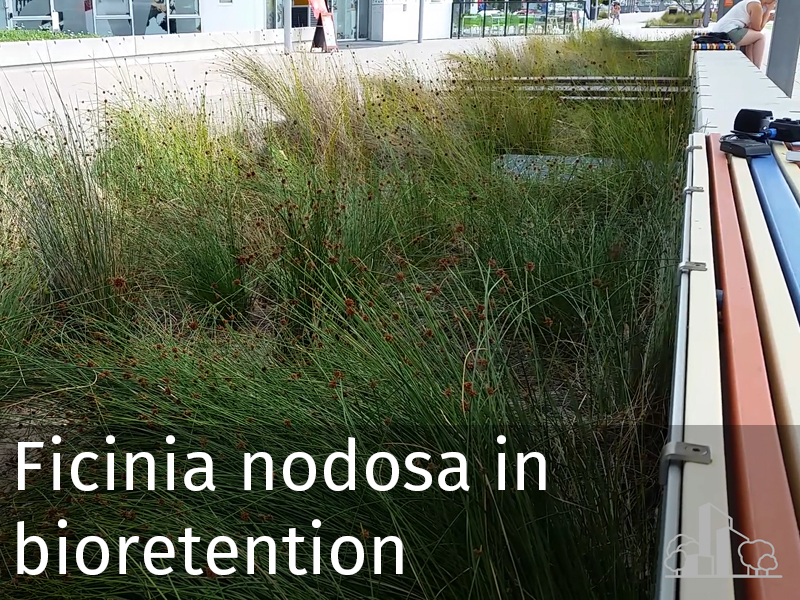 20150102 0021 Ficinia nodosa in bioretention.jpg