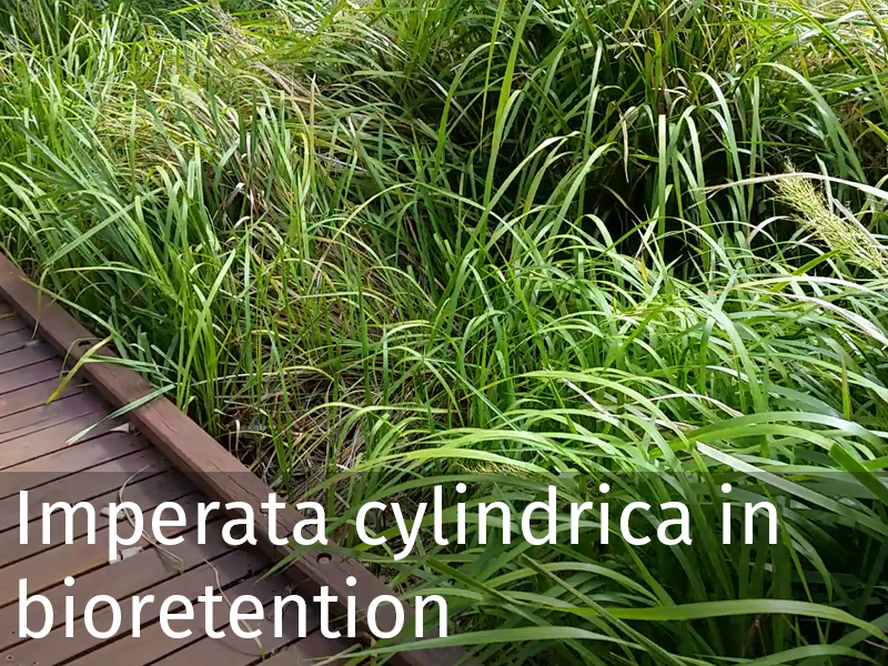 20150102 0022 Imperata cylindrica in bioretention.jpg