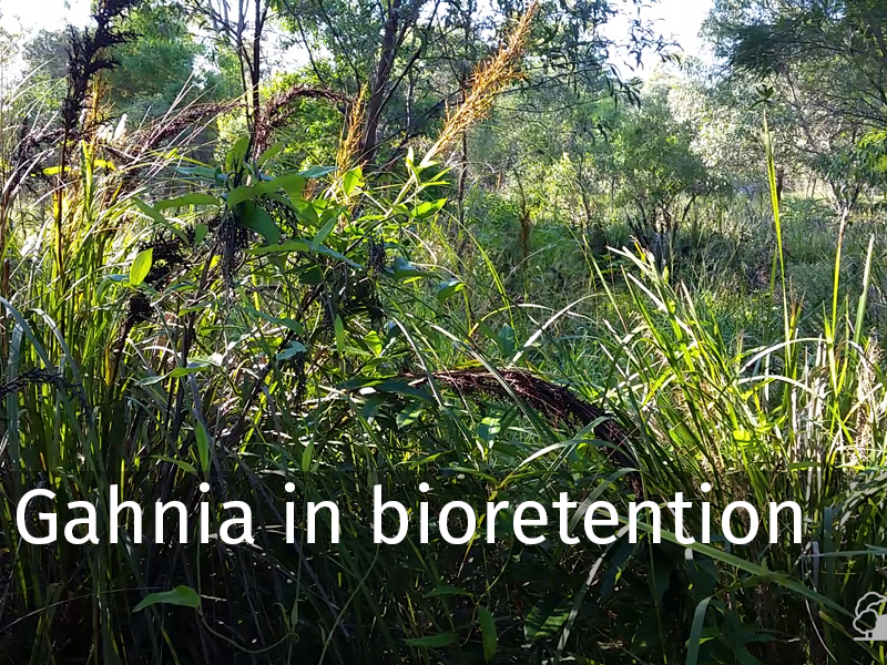 20150102 0023 Gahnia in bioretention.jpg
