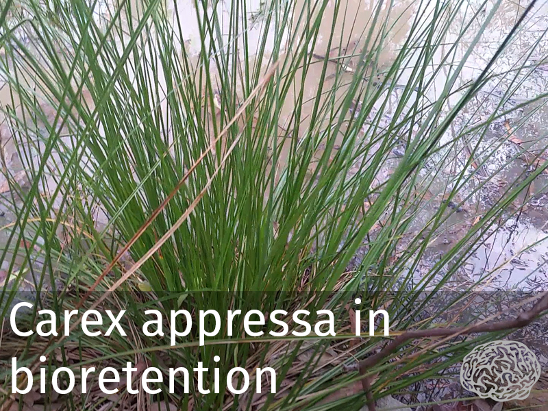 20150102 0025 Carex appressa in bioretention.jpg