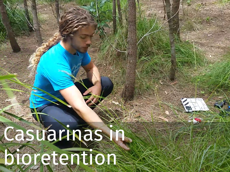 20150102 0029 Casuarinas in bioretention.jpg