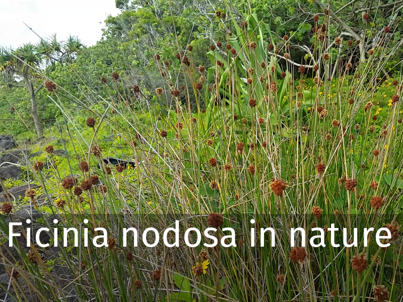 20150102 0033 Ficinia nodosa in nature.jpg