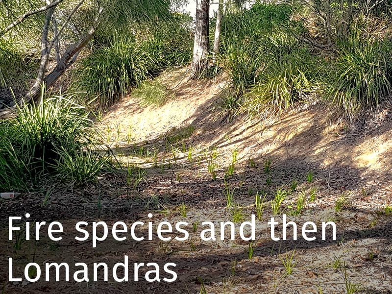20150102 0277 Fire species and then Lomandras.jpg