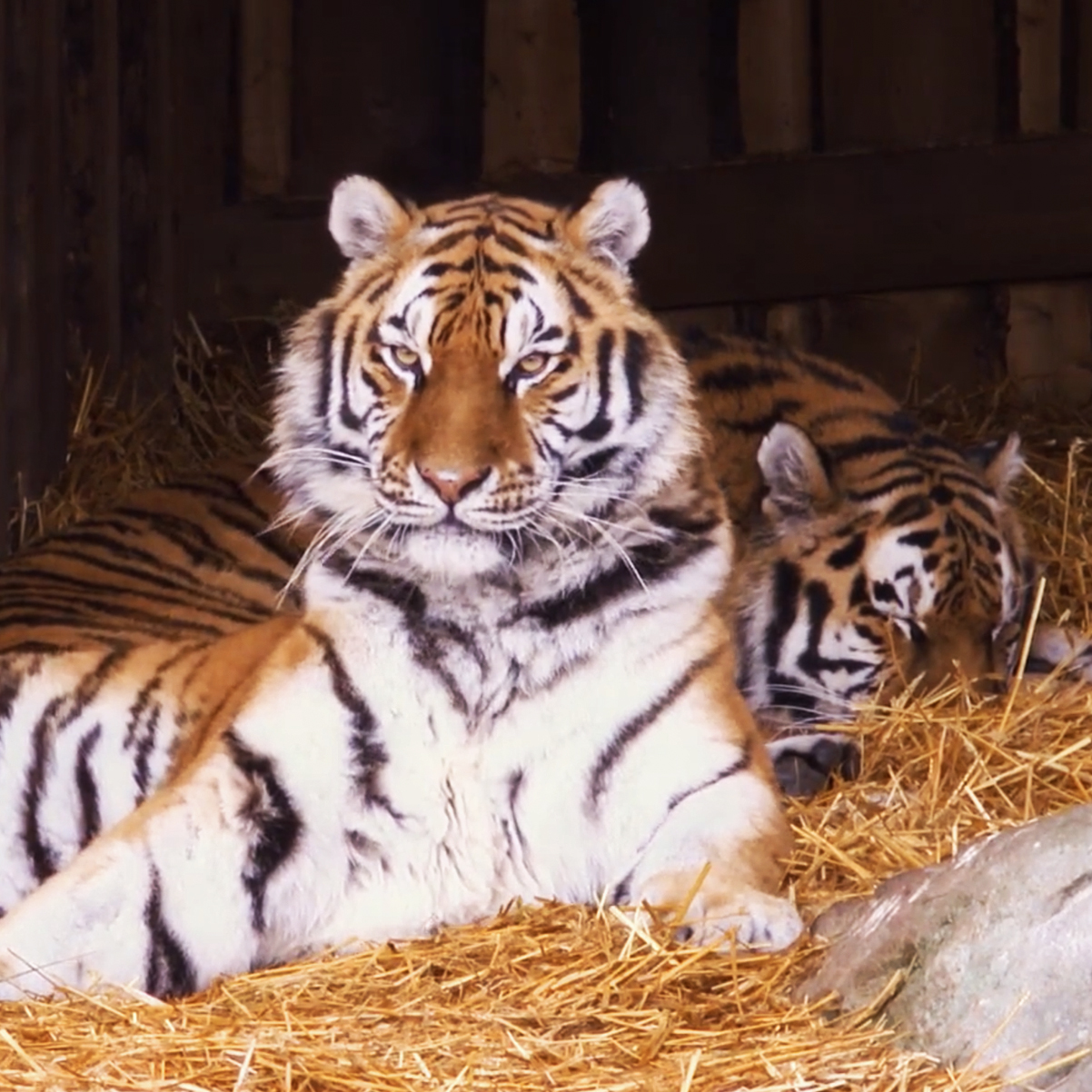 Chessington World of Adventures Resort – Land of the Tiger Launch
