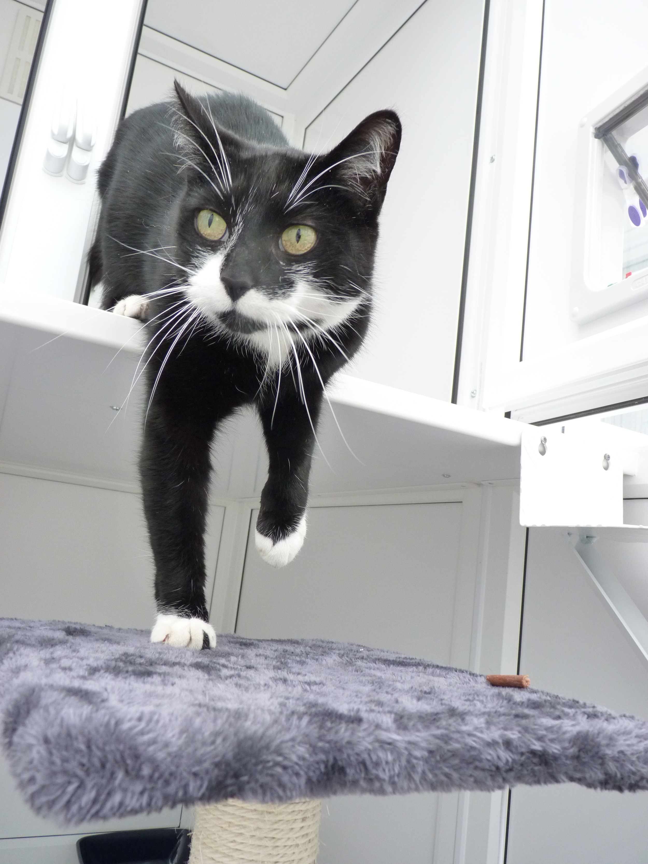 Bowie_Purrfect_Stay_Cattery