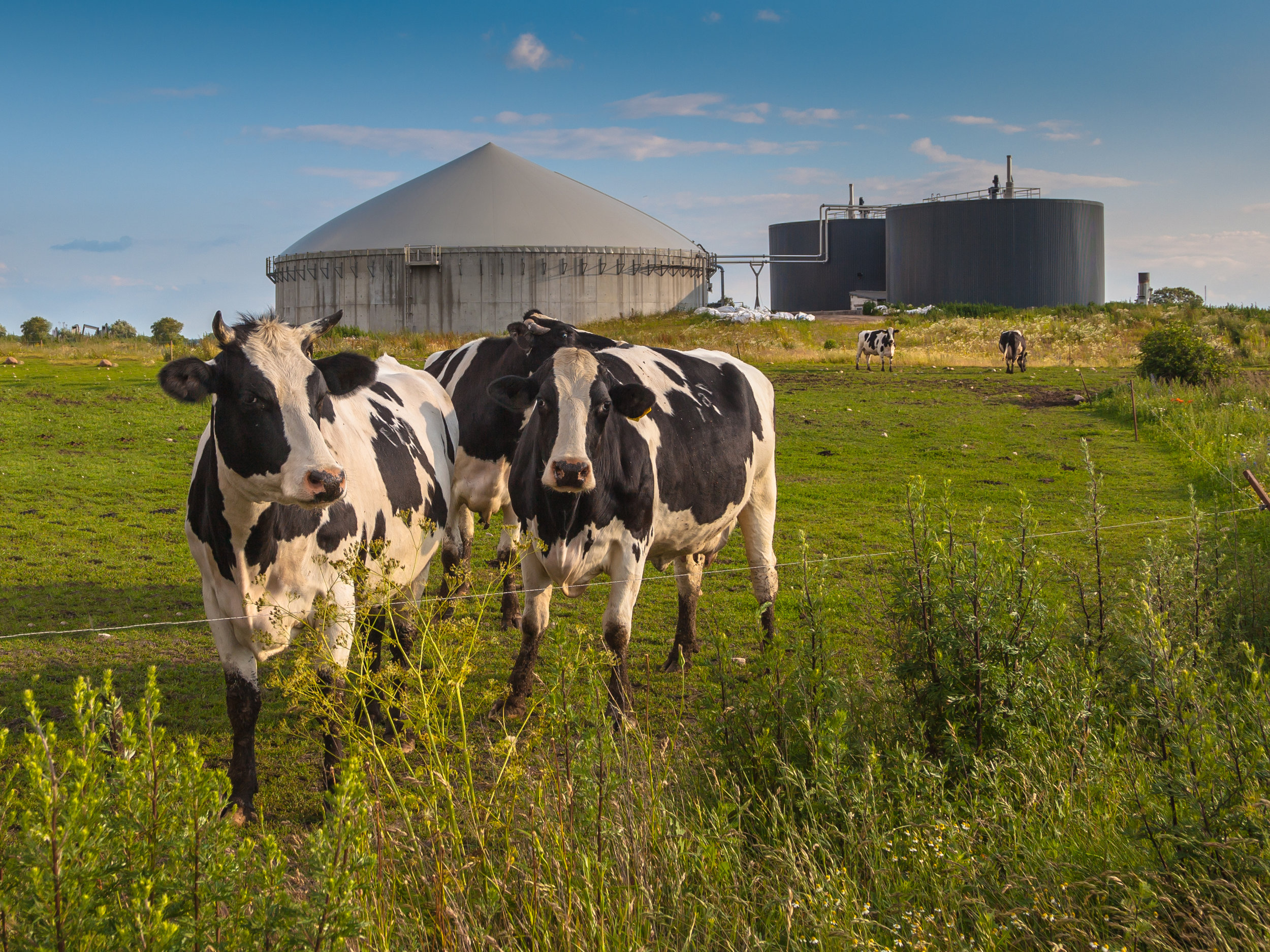 Cows with biogas plant.jpg