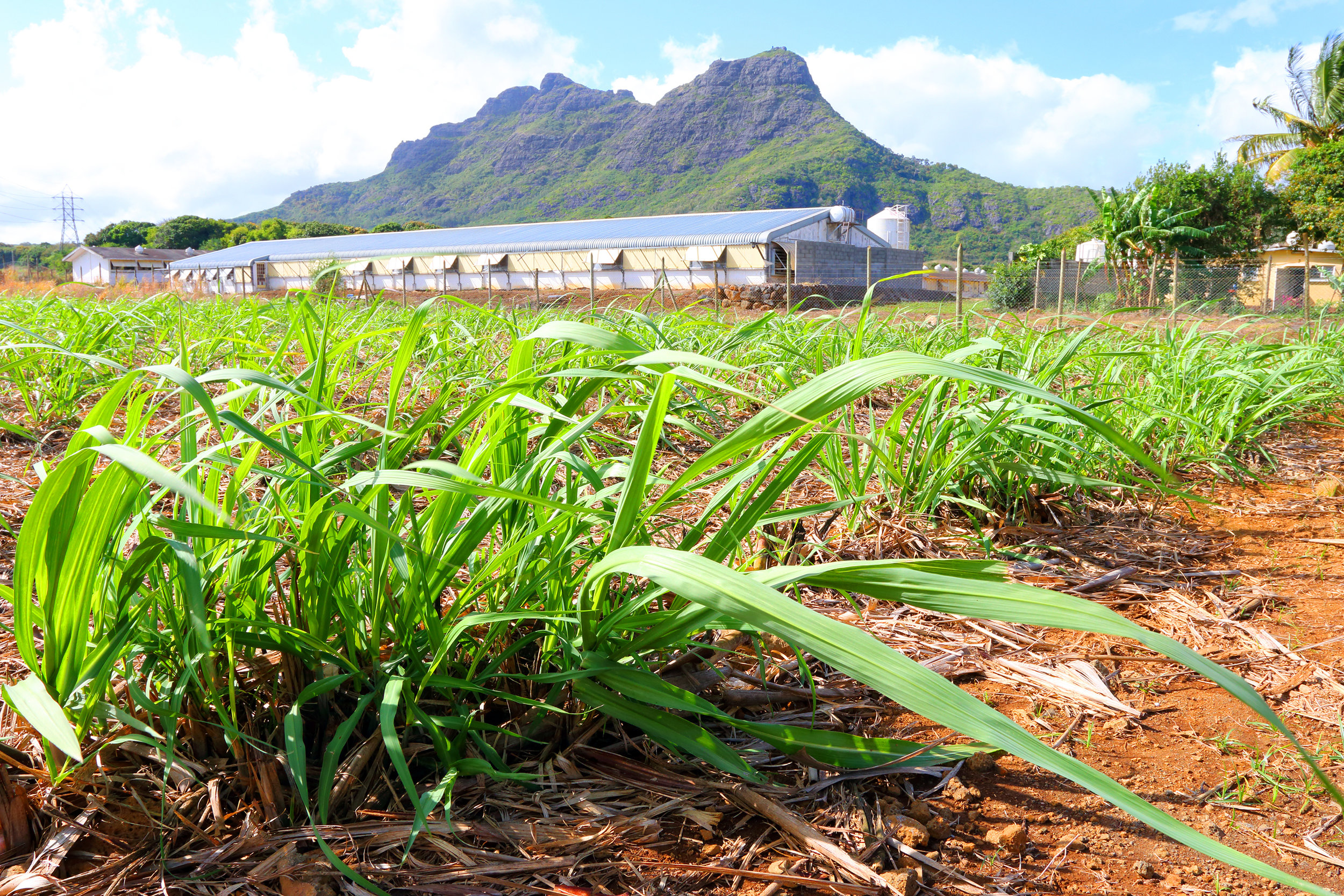 Field of sugarcane with Ag facility and mtn.jpg