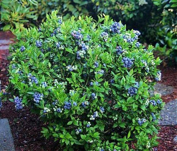 arbuste de bleuets