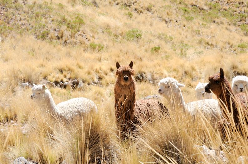 Alpacas en Ichu