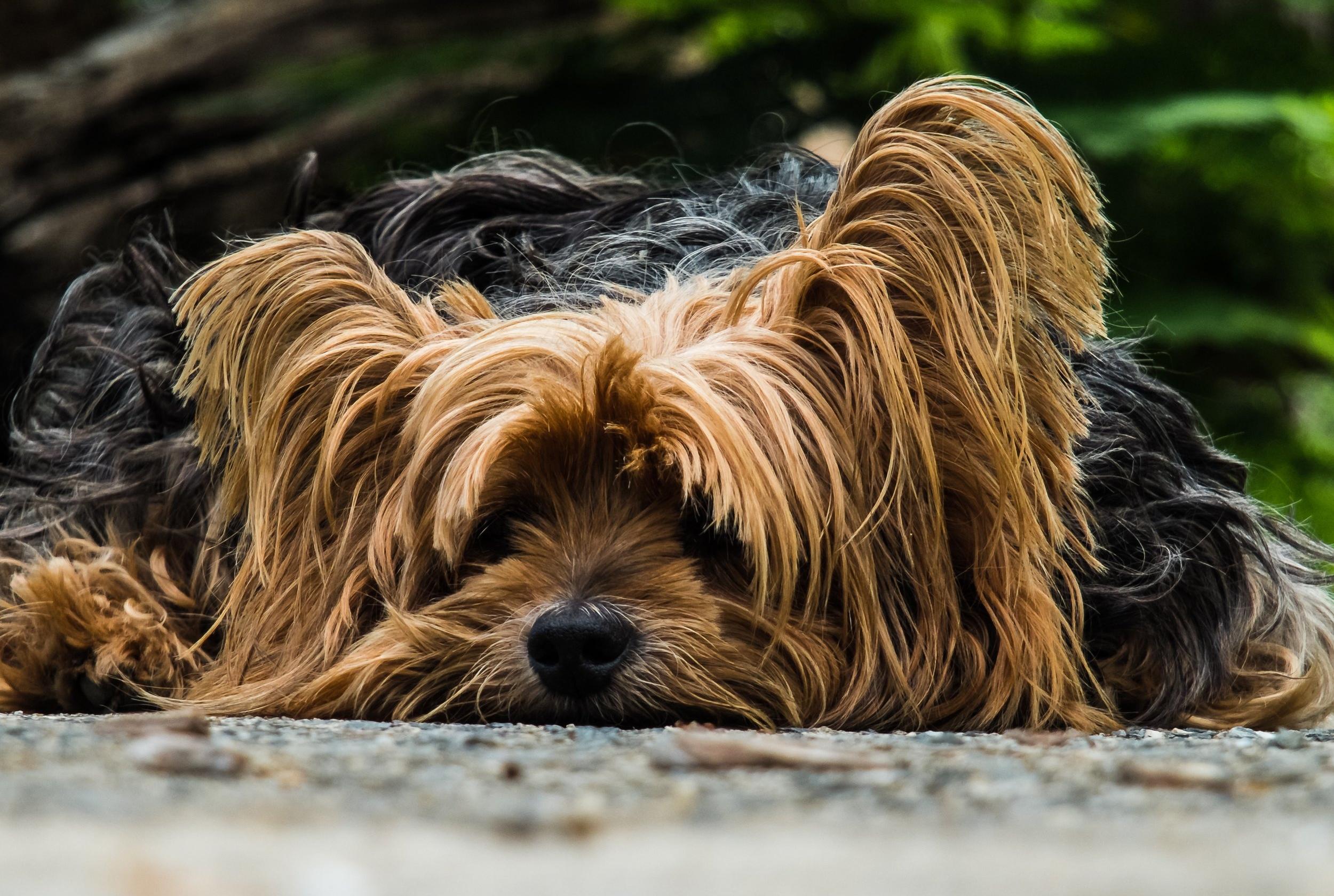 dog-yorkshire-terrier-lazy-dog-65594.jpeg