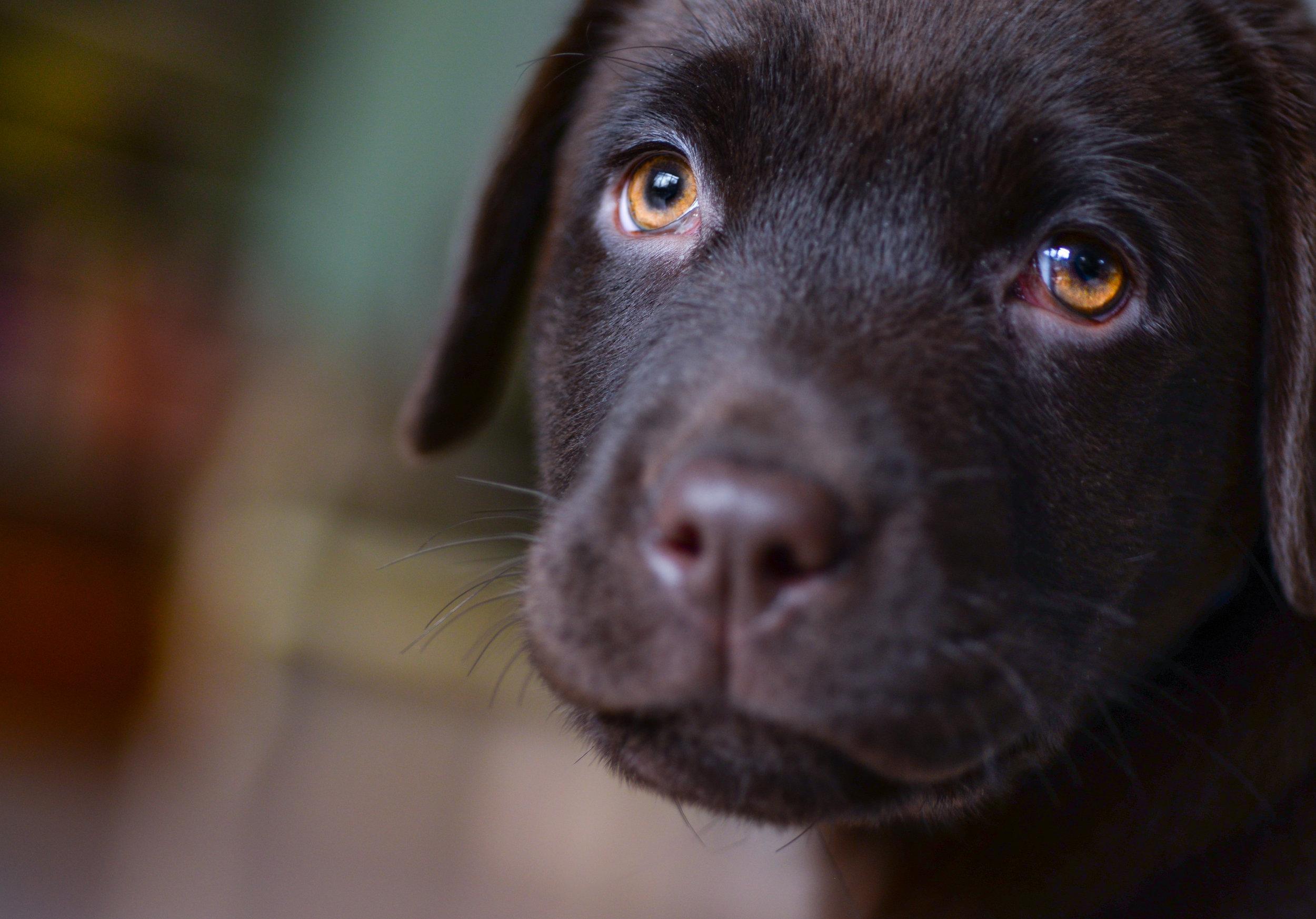 dog-face-labrador-smile-407082.jpeg