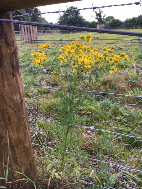 Pretty yellow flowers disguise a deadly weed