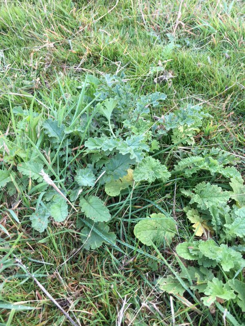 Rosettes mark the early stages of a ragwort's life