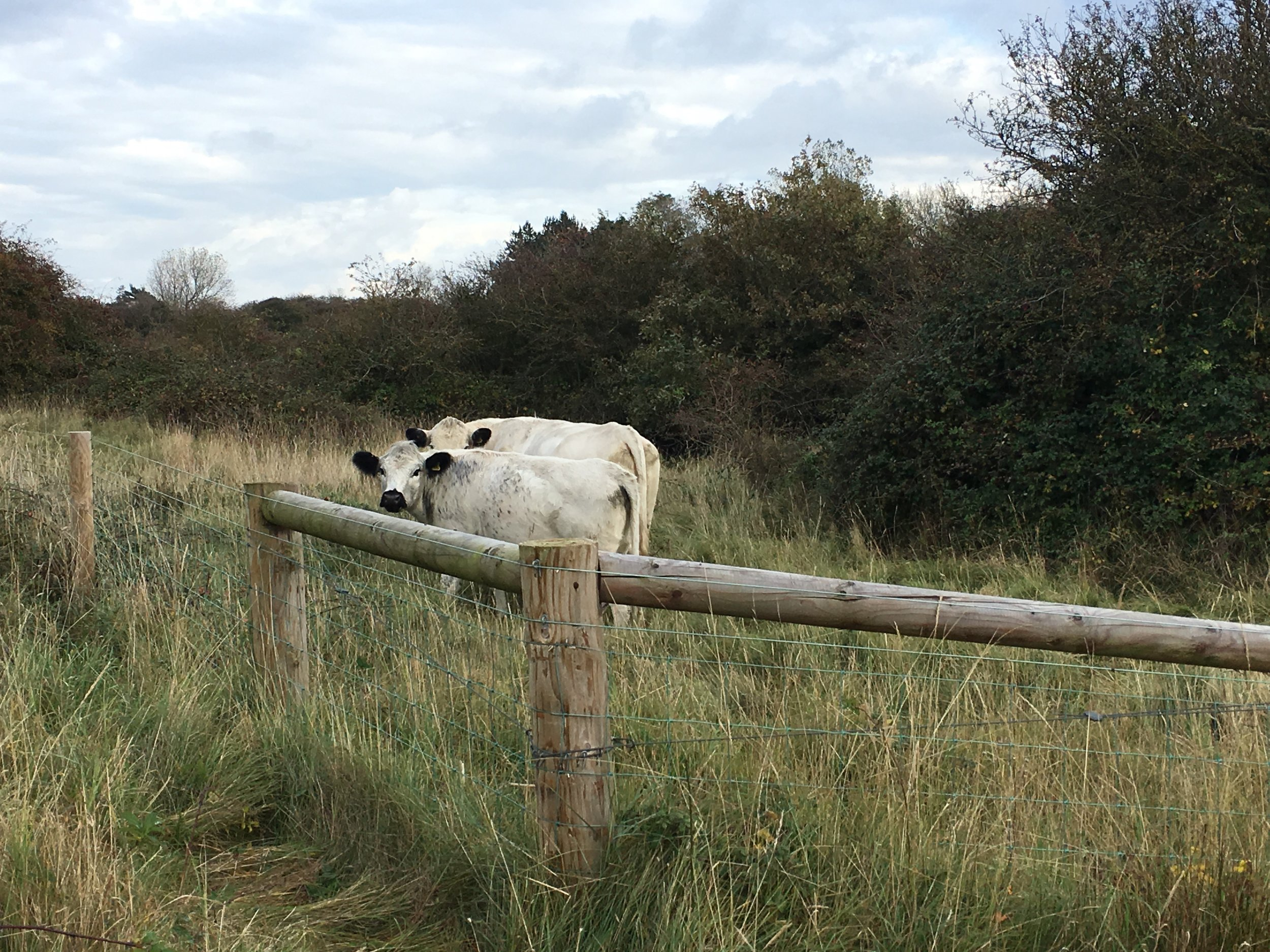 Our fencing provides a safe environment for cattle grazing on Holme Nature reserve