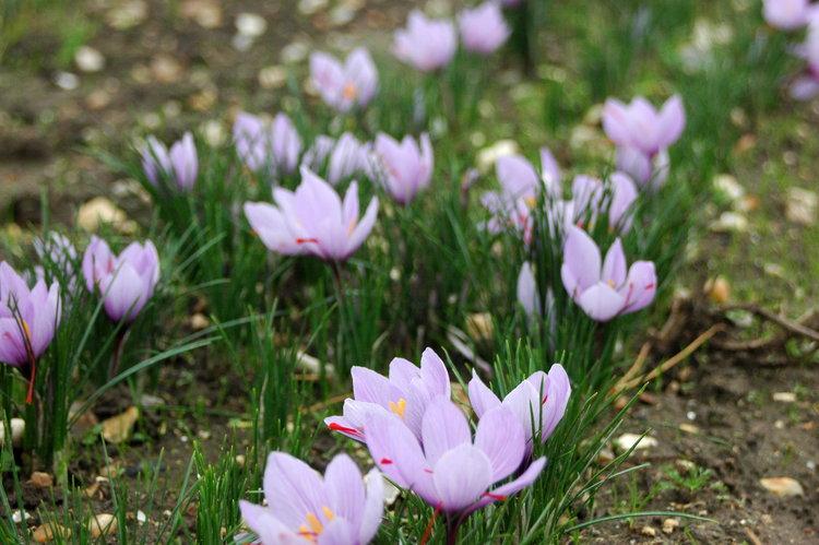 Saffron+flowers+2013.1.jpg