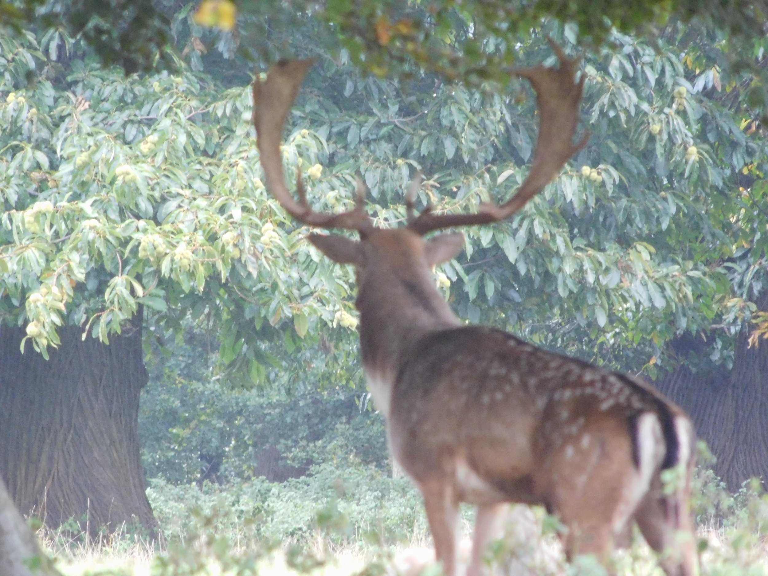 A fallow deer stag contemplates life