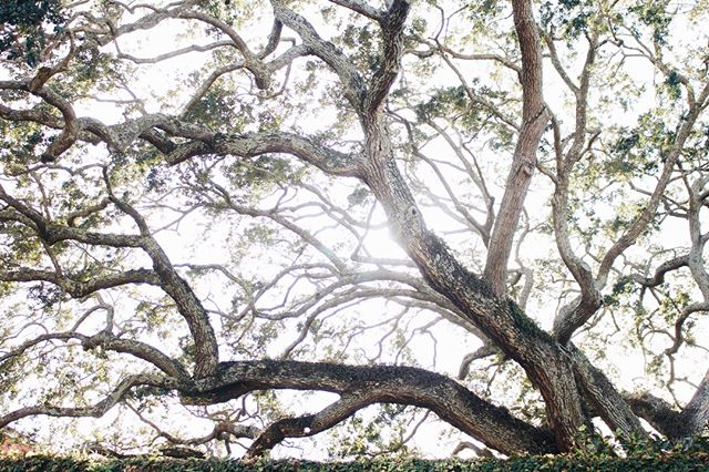 Will never ever ever be over these trees.  #abitofcharleston #charleston #explorecharleston #chs #chstoday #southofbroad #cntraveler #goopgo #theeverygirl #traveloften #traveldeeper #slhomes #slpicks #pursuepretty #flashesofdelight #abmlifeisbeautiful #historiccharleston #liveoaktreel #treesofcharleston